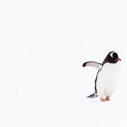Australian Antarctic Division architectural panel_penguins in the snow