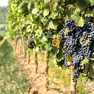 Pressing Matters Winery and Residence_vineyard, grapevines